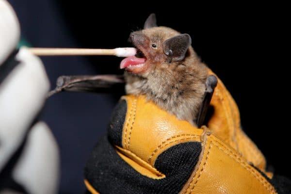 Bat swabbed for DNA