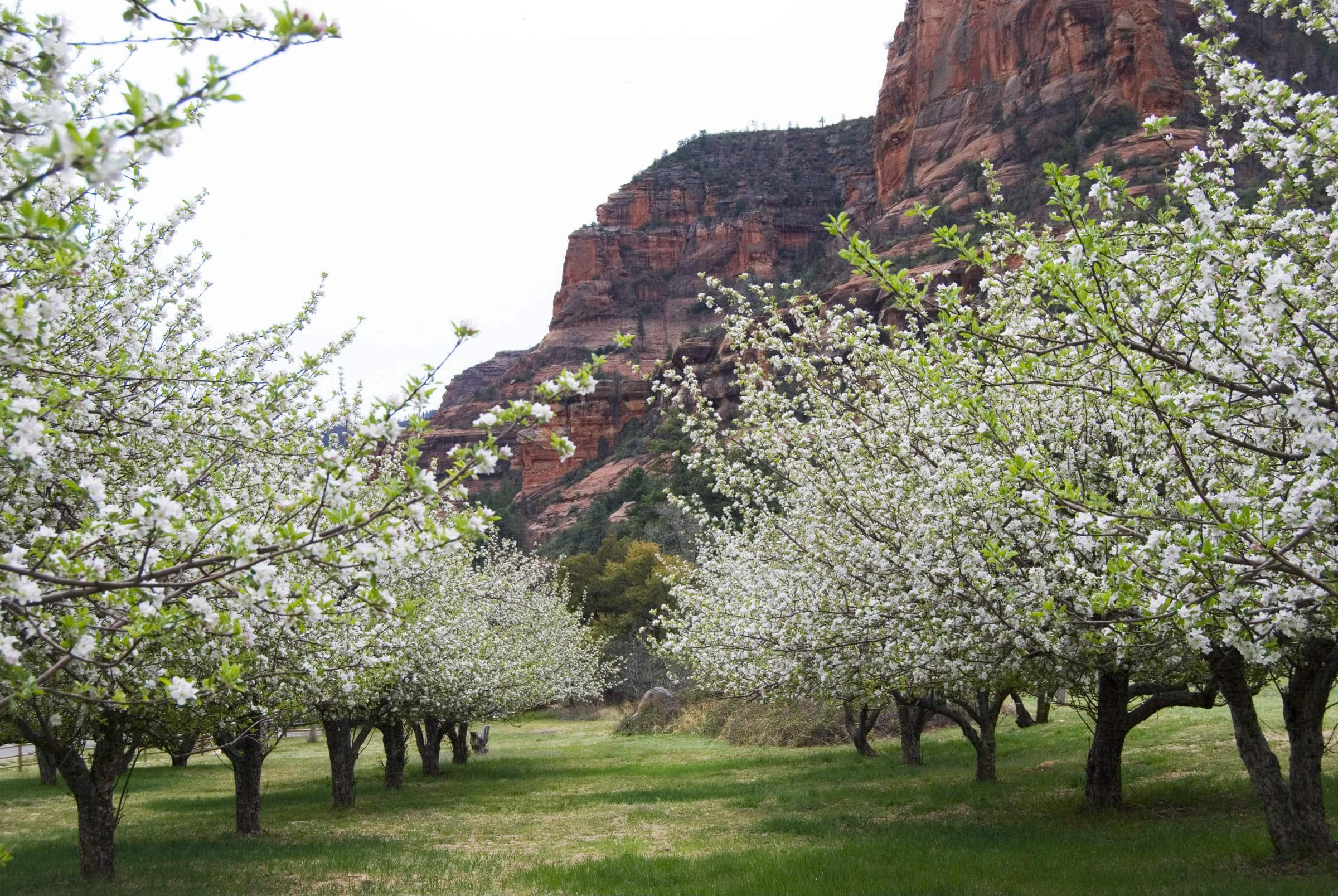 Two rows of trees dense with white blossoms sit in a field of grass, with the red mountains of Sedona in the background.