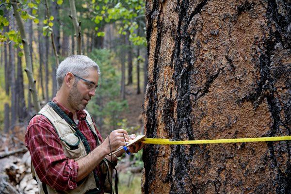 Andrew Richardson measuring a tree at Hart Prairie