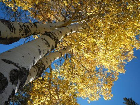 upward looking view of an aspen tree