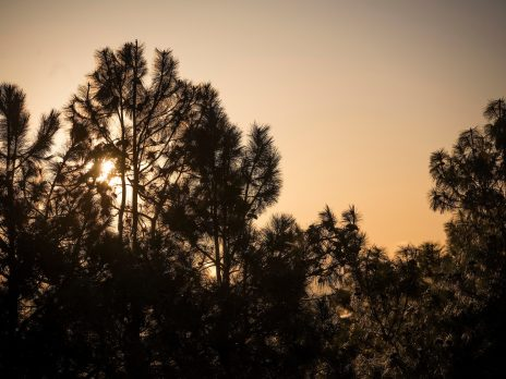 branches of pine trees with sunset in background