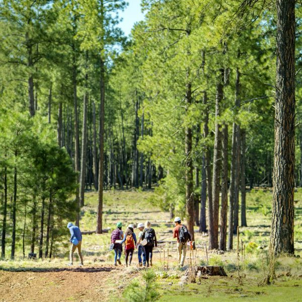 A group of people walks through a tall forest on the Colorado Plateau