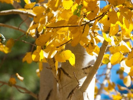 closeup of aspen tree trunk with golden leaves