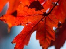 red leaves on nau campus trees in flagstaff