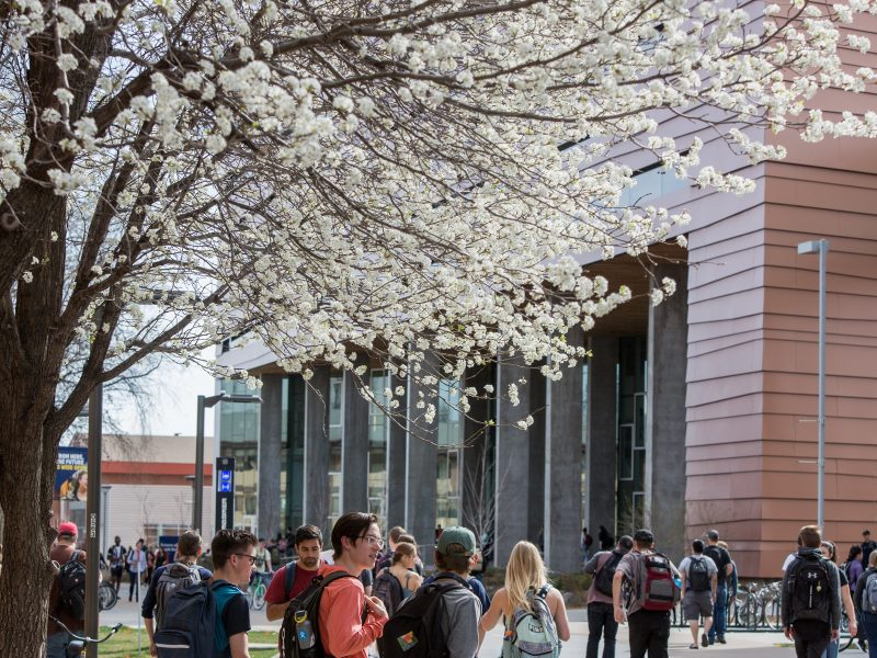 cherry blossoms bloom on the NAU campus