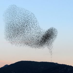 Flock of birds with collective behavior of synchronizing in flight