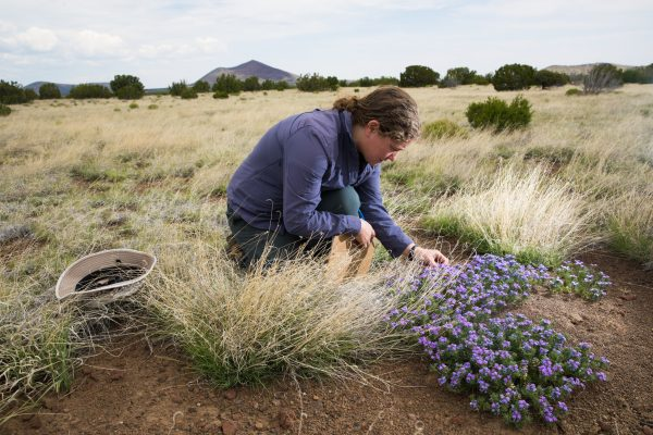 Clare Aslan working in pollinator field research