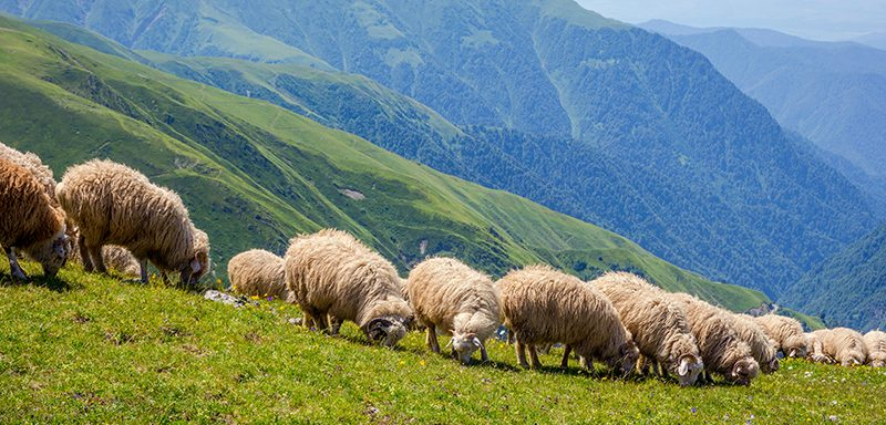 Sheep in a pasture in the country of Georgia